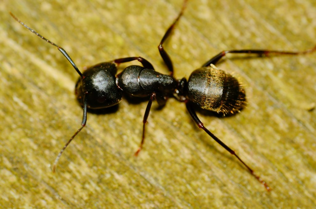 residential pest control - carpenter ants